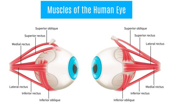 Eye anatomy 3d diagram infographics layout showing human eyes muscles in side view with labeling vector illustration