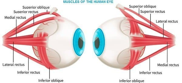 muscles of human eye
